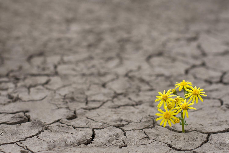 Zwischen ausgetrocknetem Erdplatten sprießen gelbe Blumen. Thema vaginale Atrophie